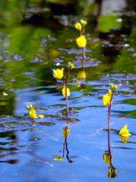 waterweeds