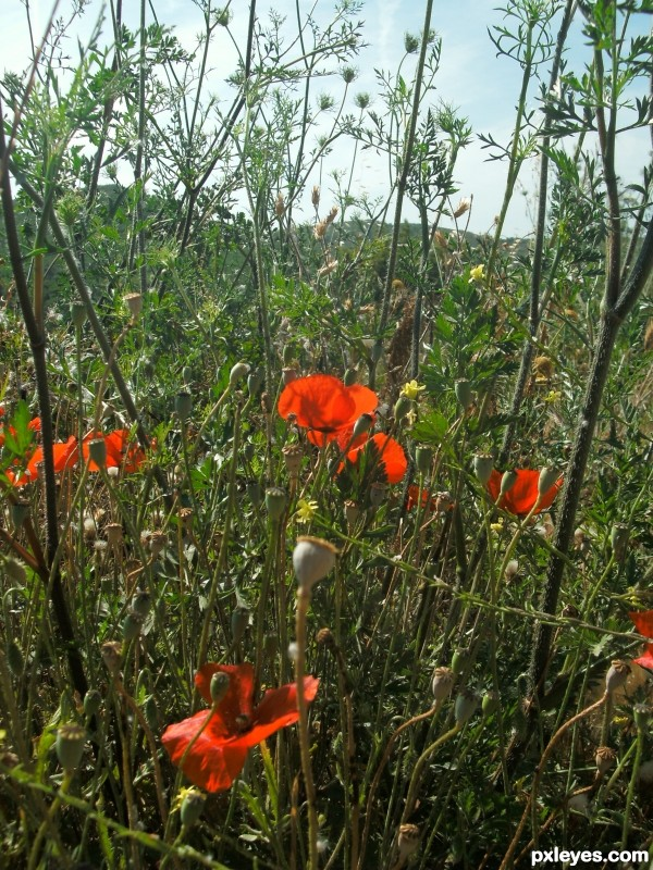 of poppies and other weeds