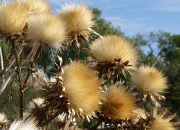 BigFluffythistles