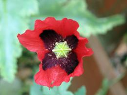 CommonPoppy