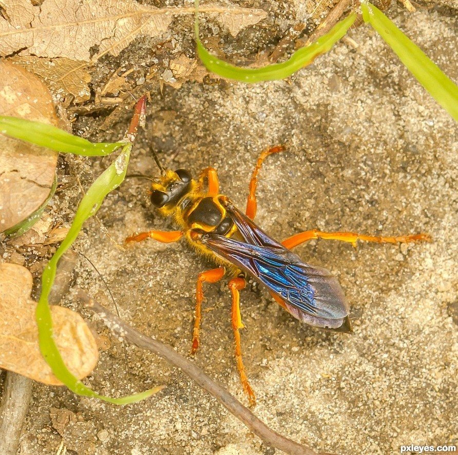 wasp digging hole in the ground amid sand, leaves and grass