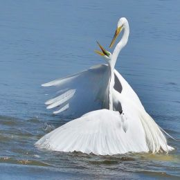 GreatEgrets