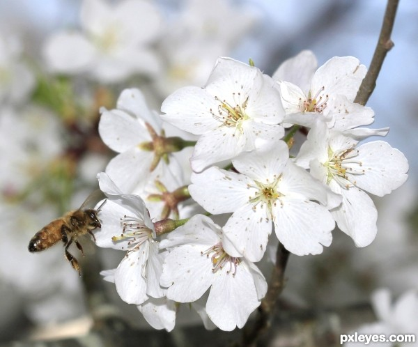 Cherry Tree and Bee