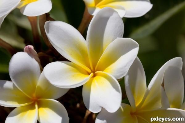 Indian Jasmines