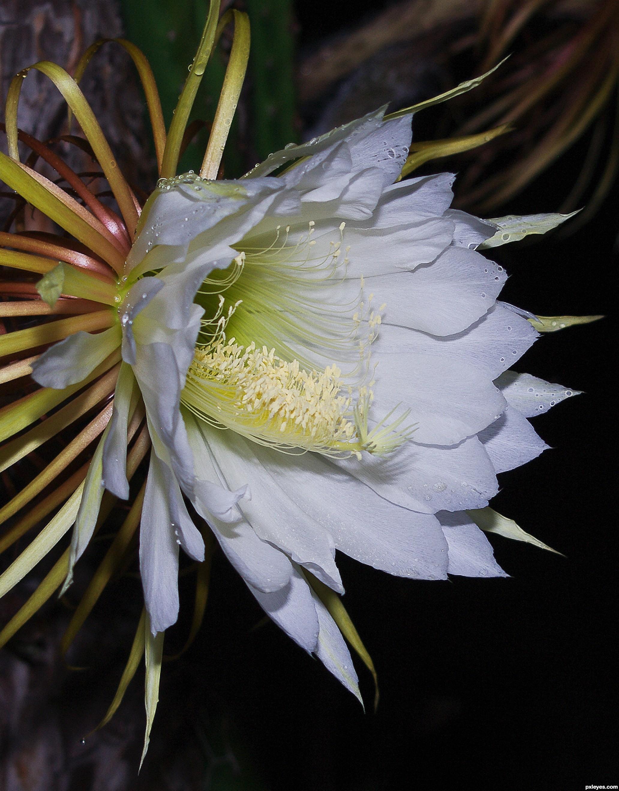 Rare cereus picture by kyricom for white flowers photography rare cereus created by kyricom mightylinksfo