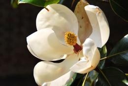 SouthernMagnolia