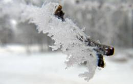 FrostedBranch