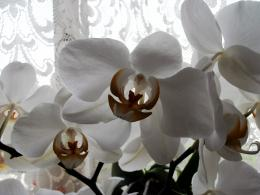 Orchidsandlace