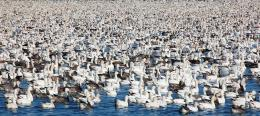 ASeaofSnowGeese