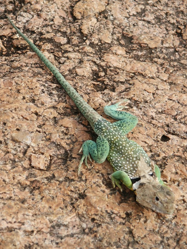 Shedding Lizard