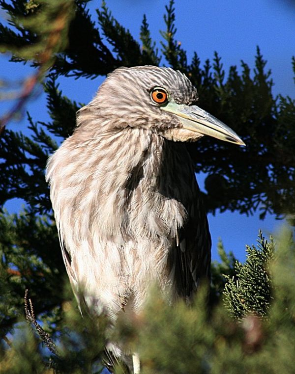 Juvenile Night Heron!