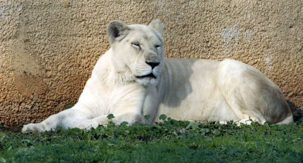 White (or Albino) lion