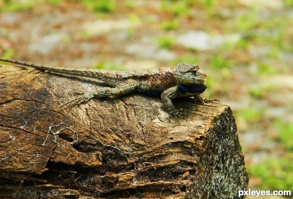 Really Angry Lizard