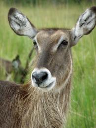 Deer???