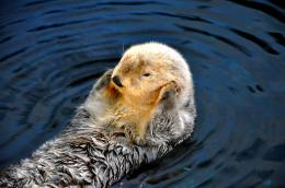 Thesweetseaotter