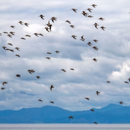 The Godwits have arrived Picture