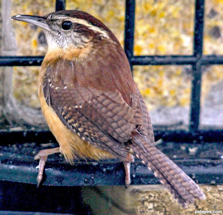 Carolina wren (house Wren) munching away