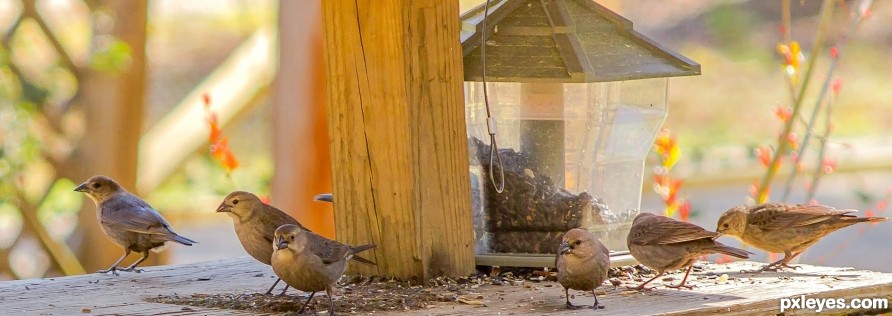 female brown headed cowbirds gathering
