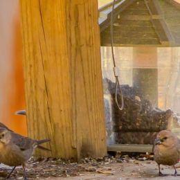 femalebrownheadedcowbirdsgathering