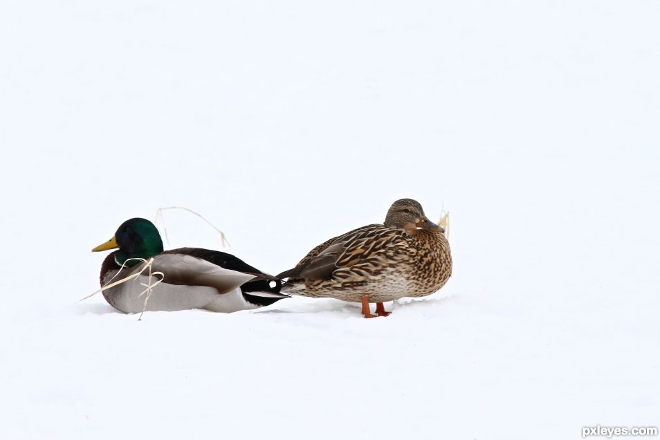 Two Mallard in the Snow