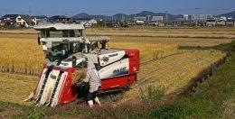 Helping Man Harvest Rice