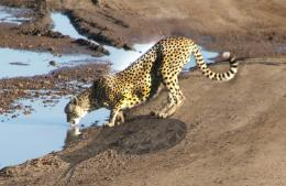 Slow Cheetah