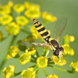 Hoverflyforagingyellowflowers