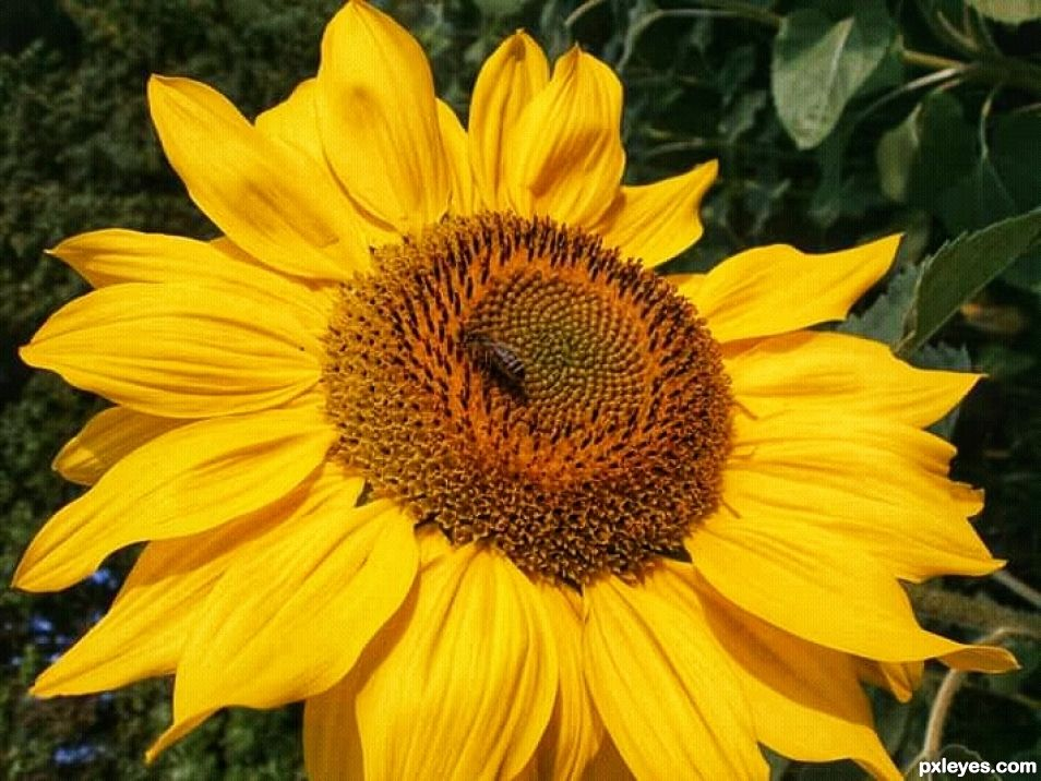 Sun bee on the sunflower