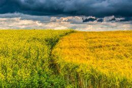 rape vs wheat