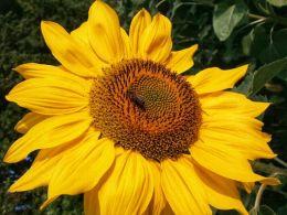 Sun bee on the sunflower