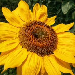 Sunbeeonthesunflower