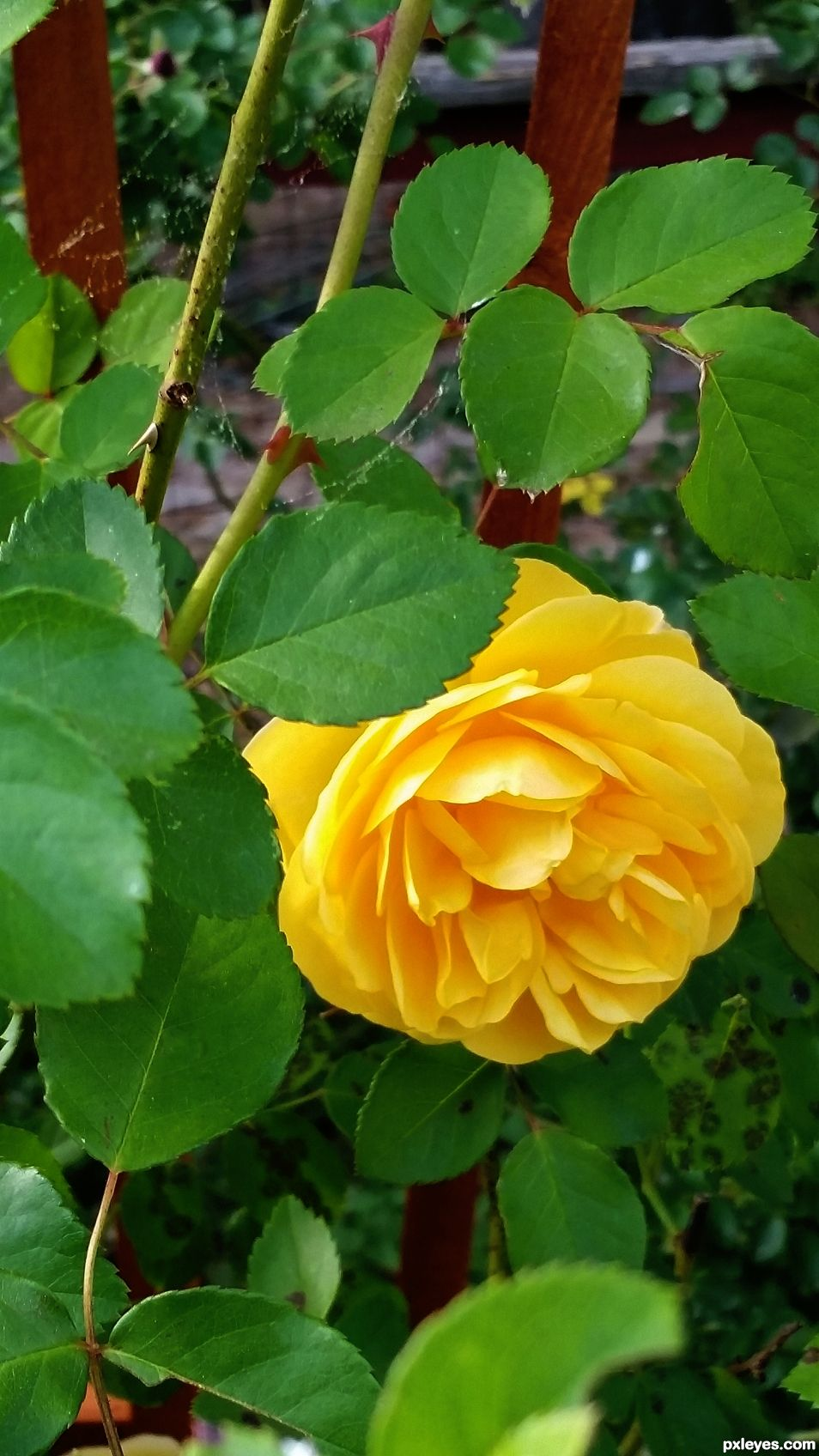 A Graham Thomas Yellow Rose, in mine and Queenies backyard