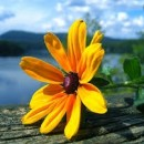 yellow flowers photography contest