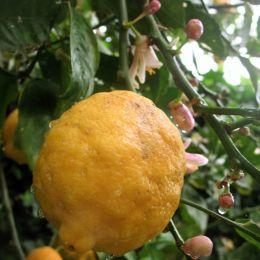 Lemonyellow