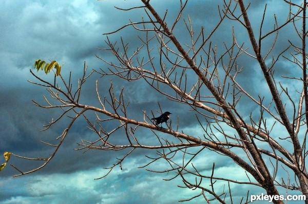 Red-winged Blackbird in Decimated Tree