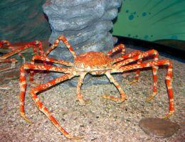 Cancer (Crab)