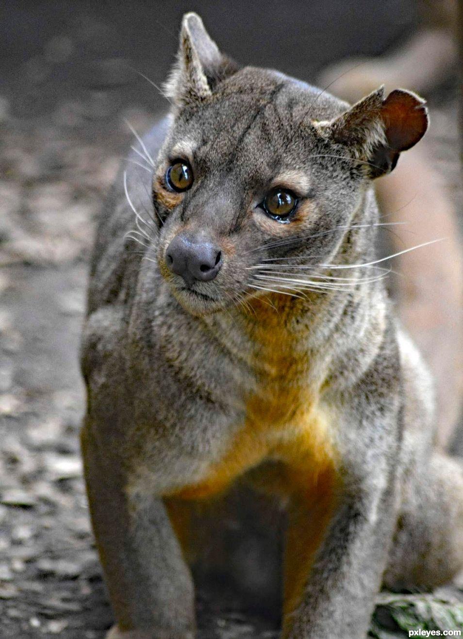 Madagascar Fossa