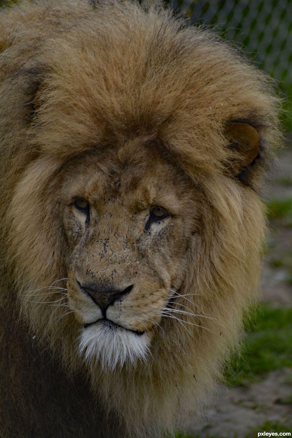Lions Stare