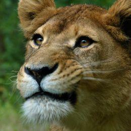 Lionessmakingfunnyface