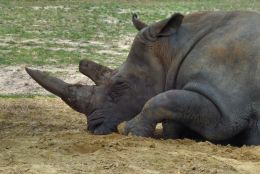 Sleeping rhinoceros