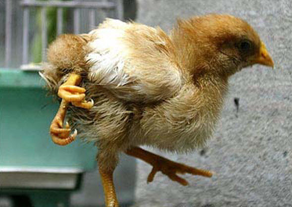 Two headed chicken