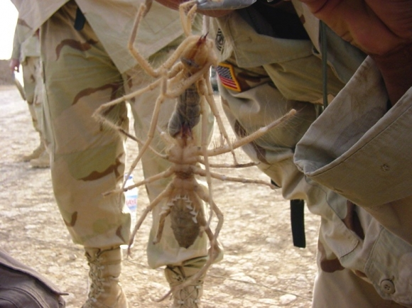 Largest Camel Spider On Record Largest camel spider record